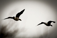 Flight Of The Barnacle Goose