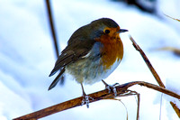 Winter's Robin on a Reed