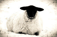 Blackface Ewe In The Snow